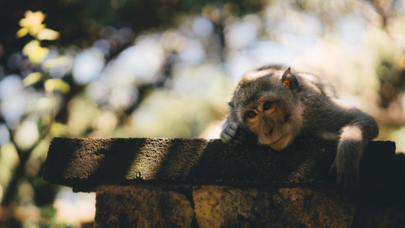 A monkey leans on a stone wall looking bored